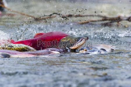farbe amerikanisch wild fisch usa outdoor