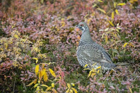 fichte grouse falcipennis canadensis im herbst