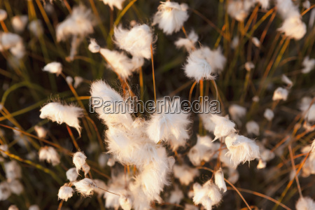 close up view of eriophorum or