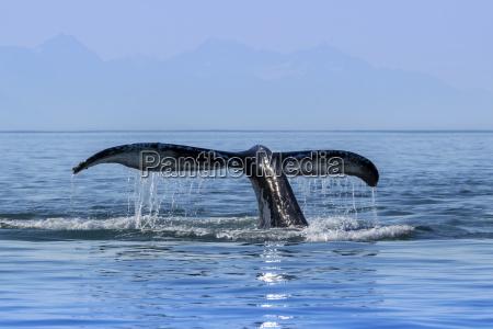 ein buckelwal megaptera novaeangliae hebt es