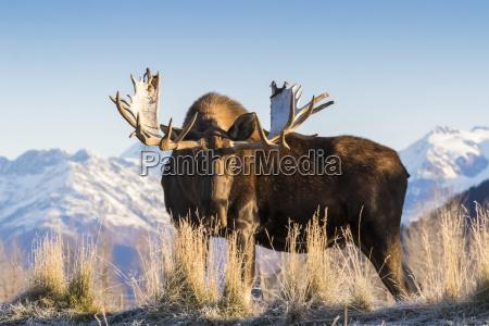 bull moose alces alces gefangenschaft im
