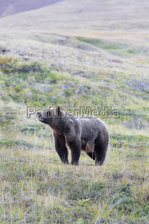 a grizzly bear ursus arctos horribilis