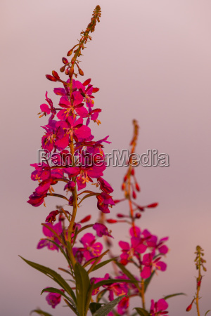 close up of fireweed chamaenerion angustifolium