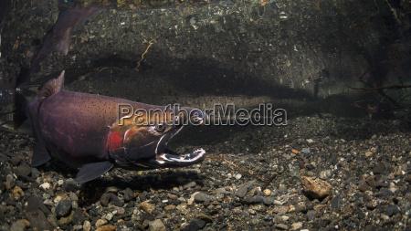 klaffender maennlicher coho lachs oncorhynchus kisutch
