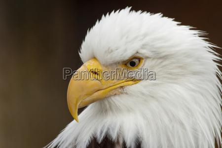 gefangen portraet eines weisskopfseeadlers alaska wildlife