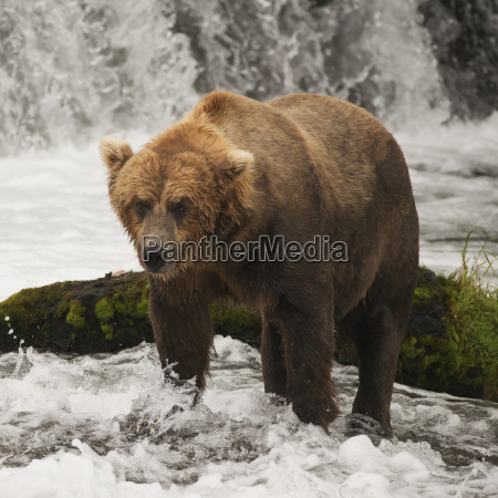 a brown bear ursus arctic standing