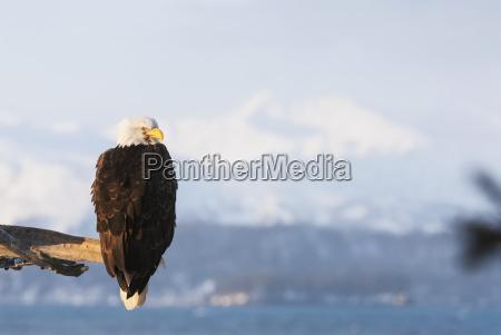 alaskan bald eagle at 25 below