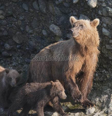 a brown bear ursus arctos with