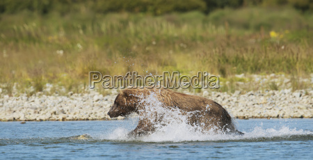 a brown bear ursus arctos fishing