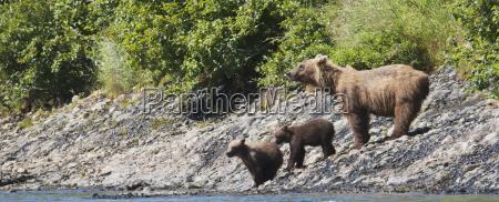 a sow brown bear ursus arctos