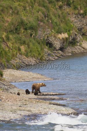 a brown bear ursus arctos and