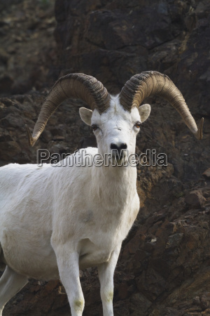 close up of dall sheep ovis