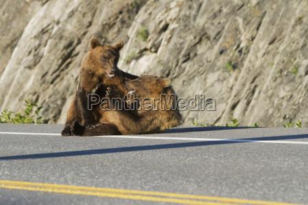 a pair of brown bear ursus