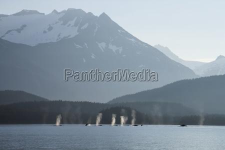 die gruppe der buckelwale fuellt ihre