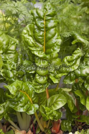 detail of organicly grown swiss chard