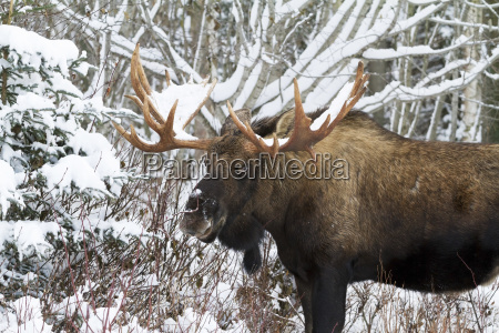 close up of bull moose alces