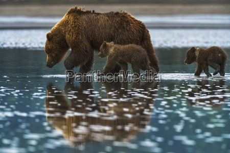 brown bear ursus arctos walks in