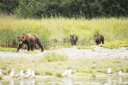brown bear ursus arctos sow and