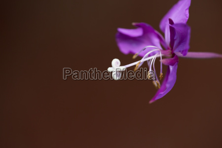 close up of a fireweed flower
