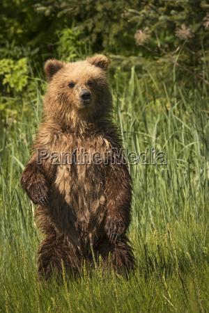 alaskan coastal bear ursus arctos wet