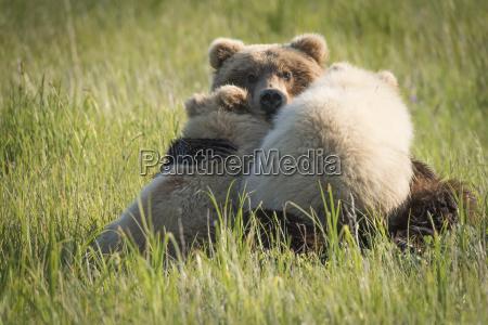 alaskan coastal bear ursus arctos nursing