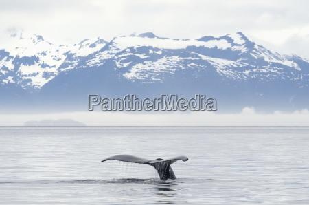 fluked tail of humpback whale megaptera