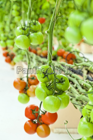 close up of hydroponic tomatoes grow