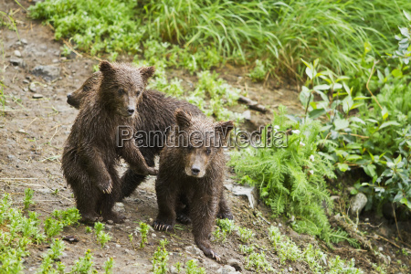 brown bear ursus arctos cubs on