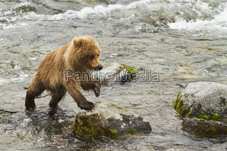 brown bear ursus arctos cub stepping