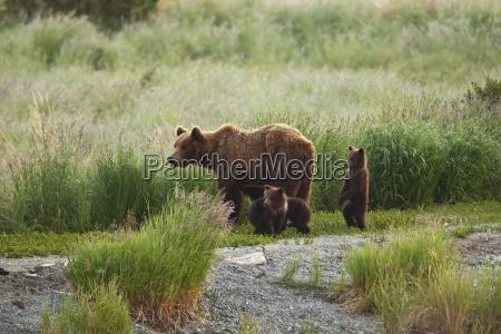 brown bear ursus arctos sow with