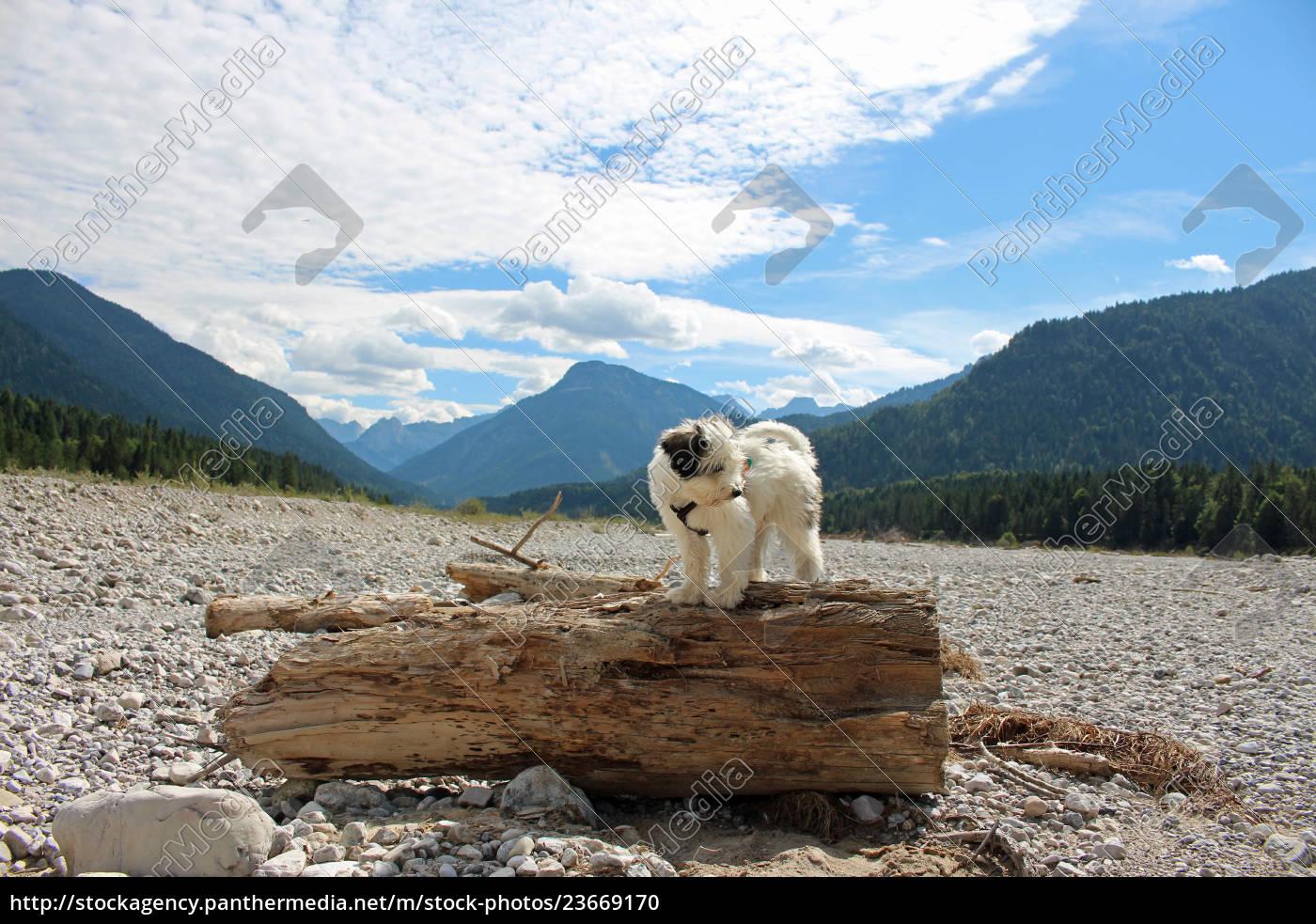 tibet, terrier, , welpe - 23669170