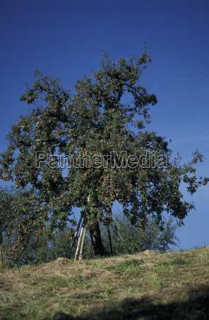 old apple tree with red apples