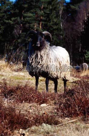mammal sheep mammals production farm homey
