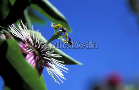 passion flower in bloom