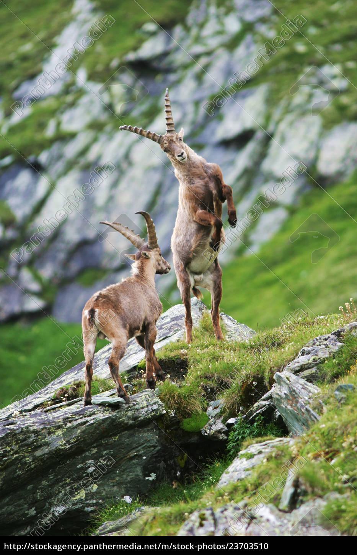 kampfende, steinbocke, (capra, ibex), gross, glockner, - 23703510
