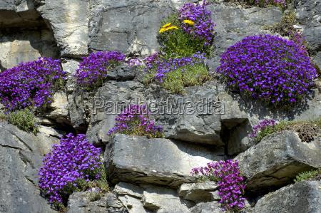 giardino fioritura fiorire svizzera rocce roccia