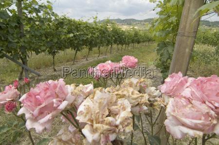 rosenstock an weinfelder bei alfiano natta