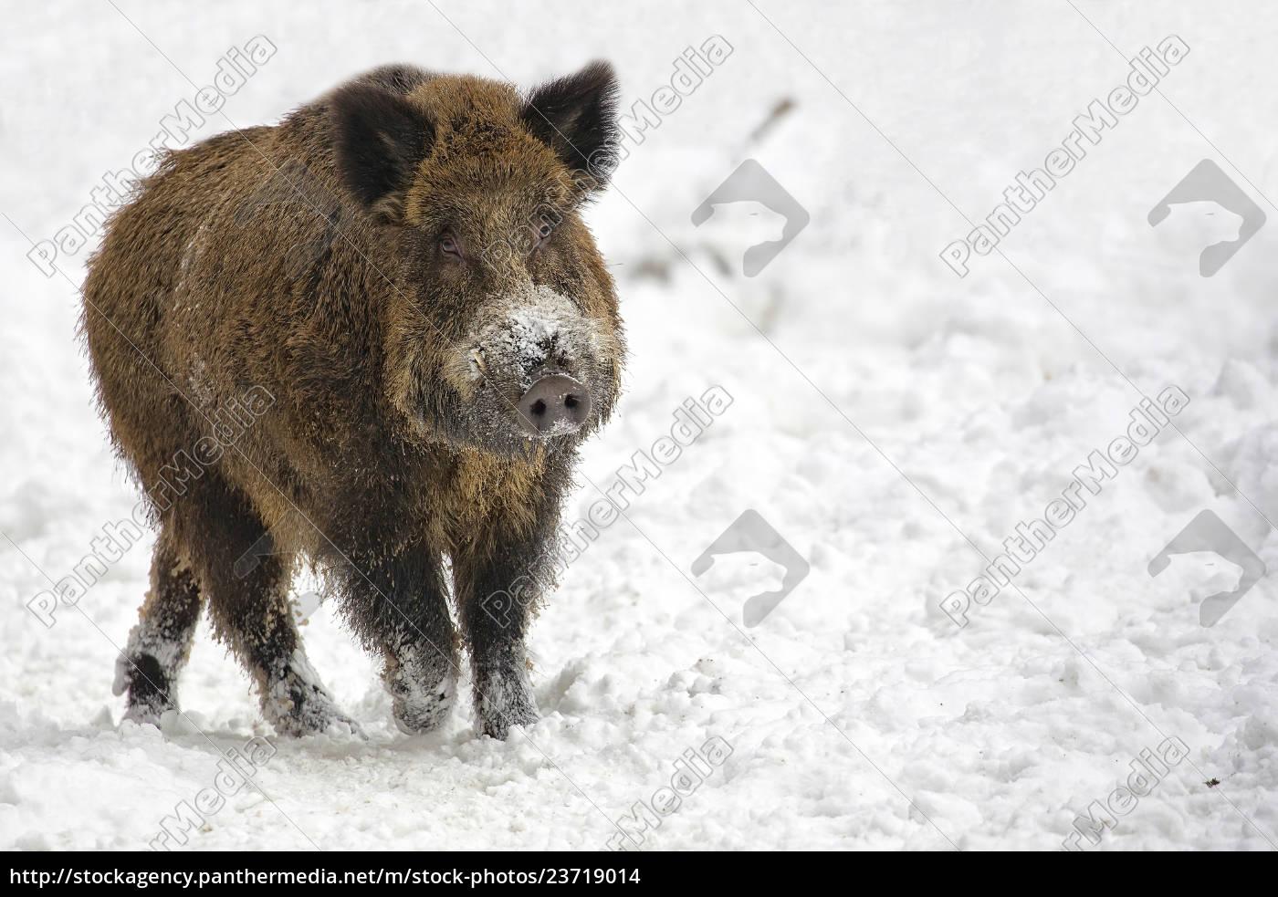 wildschwein, im, schnee, - 23719014
