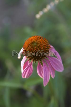sonnenhut mit herablassenden blutenblattern pink