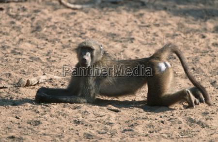 baerenpavian mkuze park suedafrika