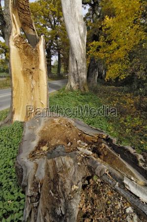 geborstene stiel eiche quercus robur