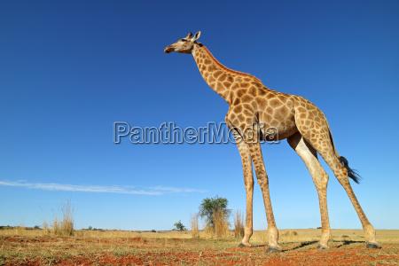flachwinkelansicht einer giraffe