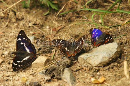 great passerine apatur iris and small