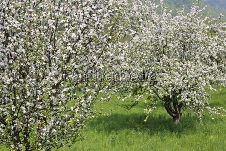 flowering fruit treeswachauniederosterreichaustriaeurope