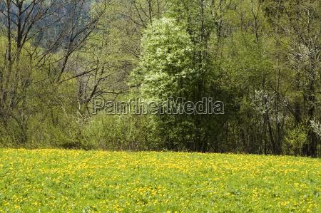 lowenzahnwiese im fruhjahr