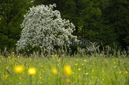 bluhender apfelbaum auf fruhlingswiese