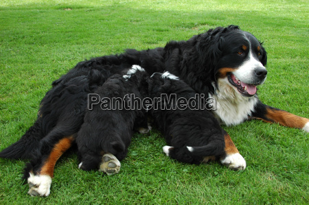 big bernese mountain dog with puppy