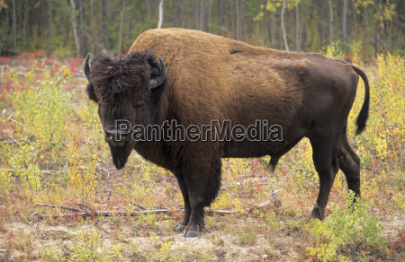bison lat bison bison in the