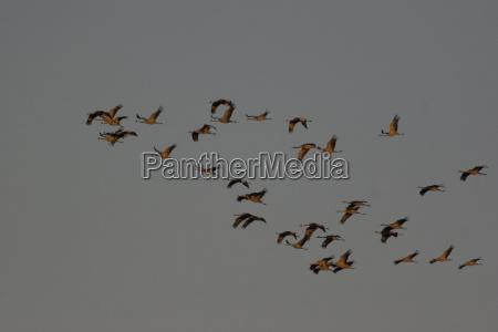 kranichtrupp im flug nationalpark vorpommersche