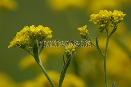 rock weed alyssum saxatile syn aurinia